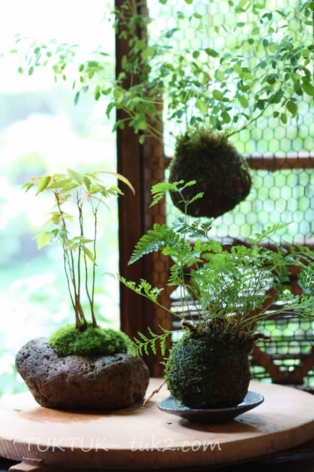 bonsai_GF